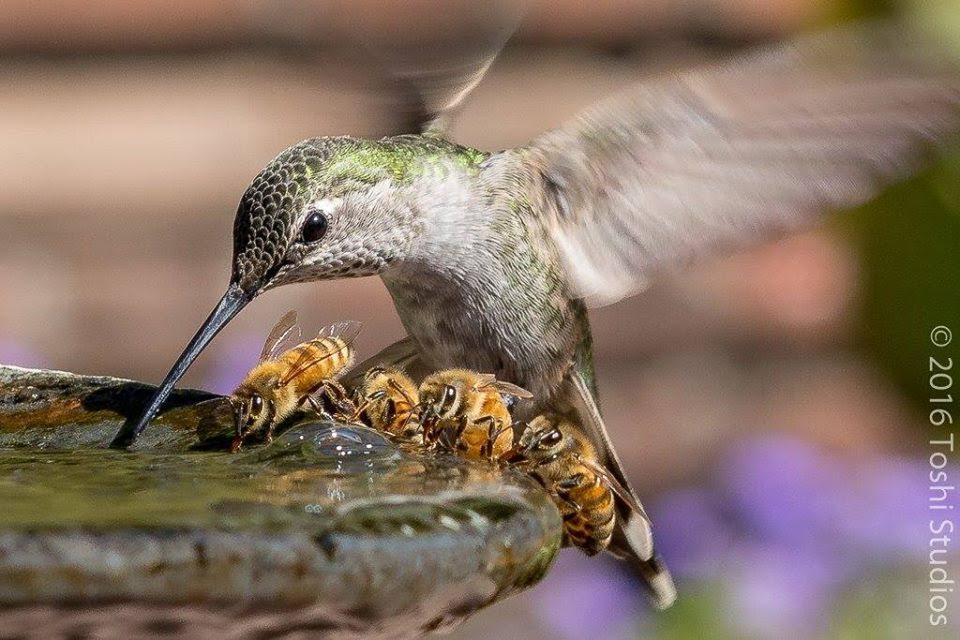 2016-abeilles-et-colibri