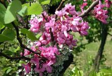 arbre méditerranéen fleurs roses
