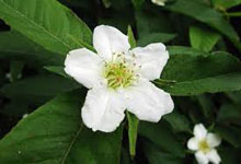 neflier-fleur