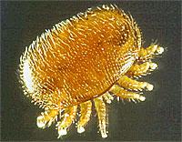 varroa1