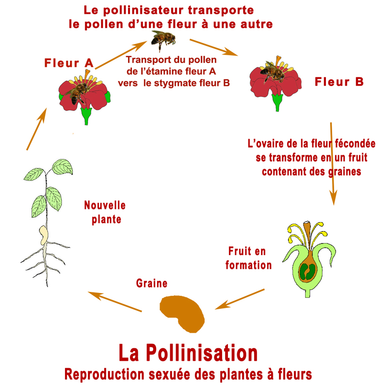 cercle-pollinisation