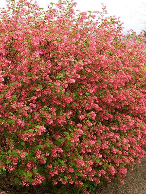 1ribes-sanguineum-groseillier-a-fleurs