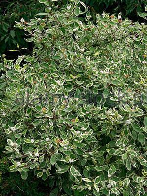 3cornus-alba-elegantissima