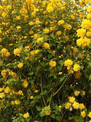 8kerria-japonica