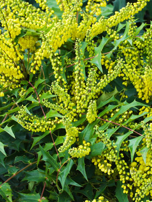 mahonia-x-media-winter-sun