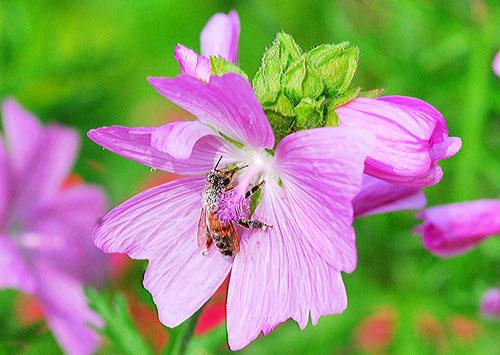 abeille-pollen3