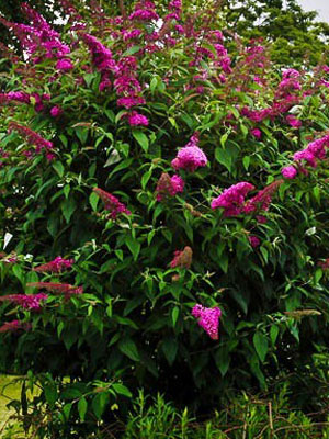 buddlea-royal-red-butterfly-bush-2