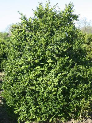 ligustrum-vulgare-atrovirens-soliter-troen