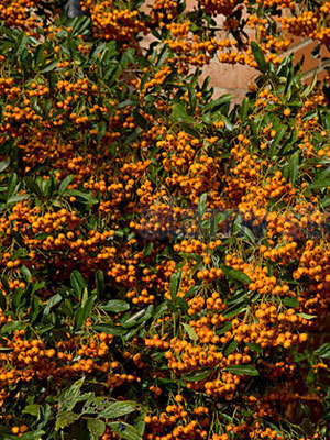 pyracantha-berries