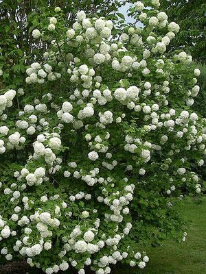 viburnum_opulus_roseum