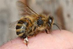 venin-abeille